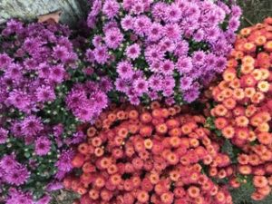 Fall Mums From Orton's Market In North East, PA